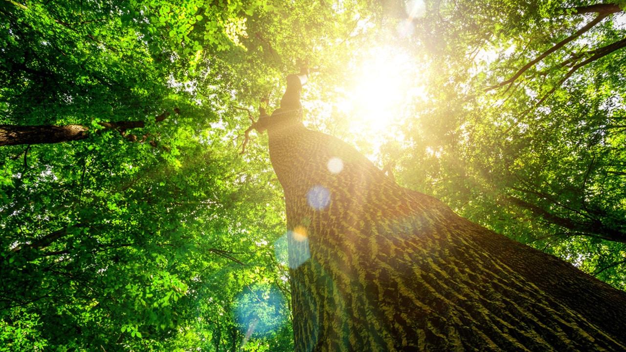 Durch die Baumkrone eines Laubbaumes fällt Sonnenlicht ein.