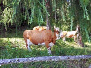 Kühe beim Urlaub am Bauernhof Schlinthof in Liebenfels, Österreich